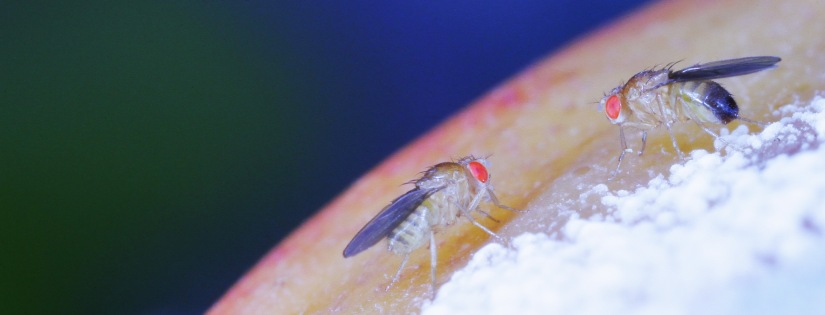 female_male_drosophila